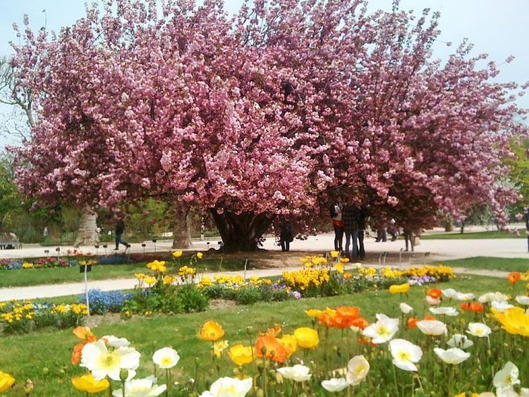Jardin des Plantes cherry blossom time